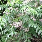 <b>Chiết xuất từ cây xoan</b>  giúp kháng viêm & khử trùng