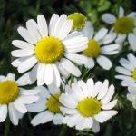 <b>Chiết xuất Tinh dầu Hoa Cúc La Mã</b> giúp làm dịu mát da.