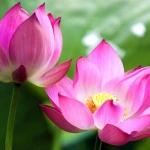 <b>Nước hoa sen</b>  làm dịu & mềm mịn da, dưỡng ẩm