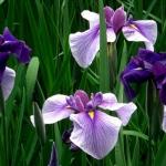 <b>Chiết xuất từ hoa Thủy xương bồ (Iris Ensata)</b> Làm sáng da