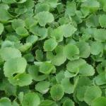 <b>Tinh chất rau má Centella Asiatica</b>giúp dưỡng ẩm