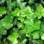 <b>Chiết xuất lá thường xuân Hedera Helix (Ivy)</b> giúp làm dịu & bảo vệ da