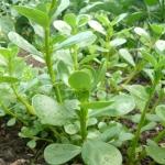 <b>Chiết xuất rau sam (Portulaca Oleracea) </b>Chống viêm