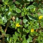 <b>Chiết xuất rau sam (Portulaca Oleracea)</b> giúp làm dịu da và dưỡng ẩm