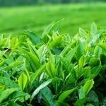<b>Chiết xuất lá trà xanh </b> giúp dưỡng ẩm và tăng độ đàn hồi cho da